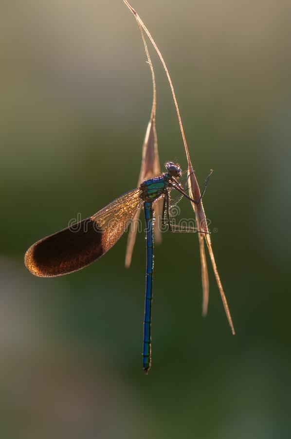 The damselfly Calopteryx splendens on a blade of grass dries its wings from dew under the first rays of the royalty free stock photo