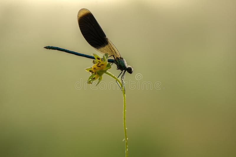Damselfly Calopteryx splendens on the flower of morning dew in the summer preparing to meet a new day. Beautiful damselfly Calopteryx splendens on the flower of stock photography