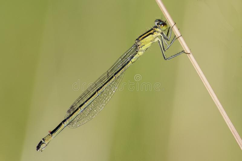 A damselfly clinging to a grass strand. A damselfly on a grass strand on Southampton Common royalty free stock images