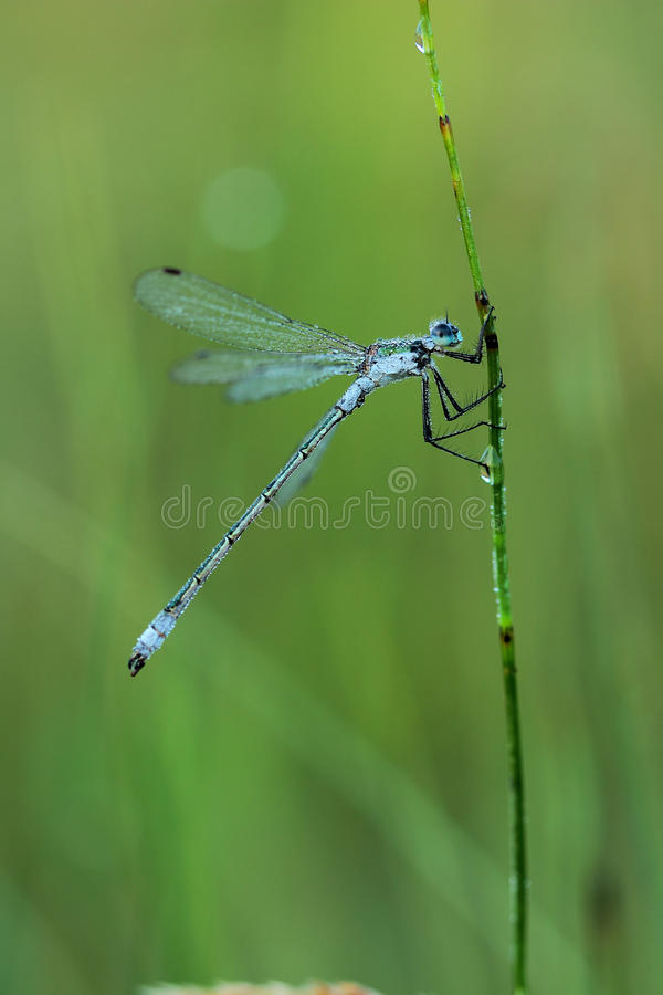 Damselfly covered morning dew stock photos