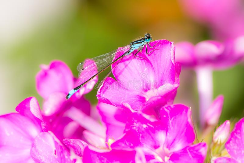 Damselfly de Bluetail em uma flor cor-de-rosa fotografia de stock