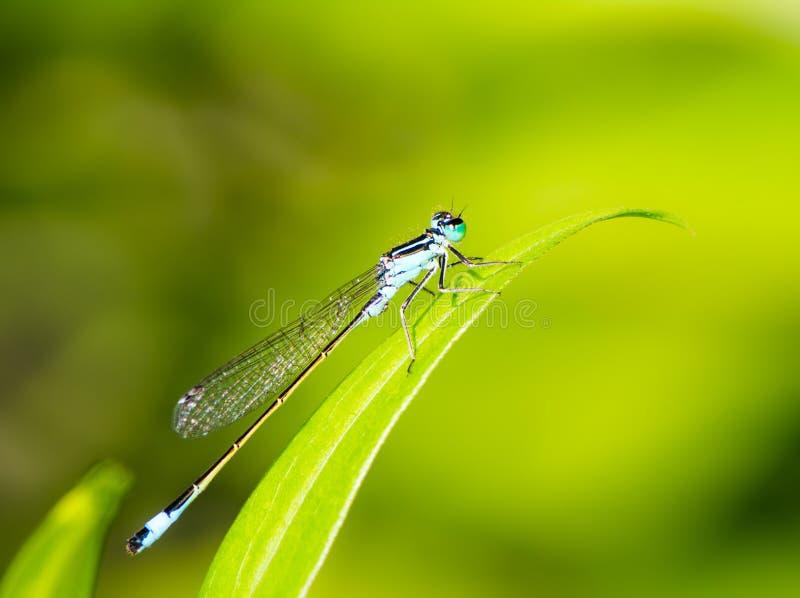 Damselfly de Bluetail em uma folha verde fotografia de stock