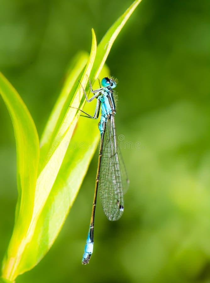 Damselfly de Bluetail em uma folha verde fotos de stock royalty free