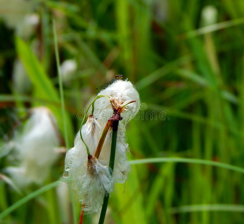 Damselfly de ojos enrojecidos en hierba de algodón fotos de archivo