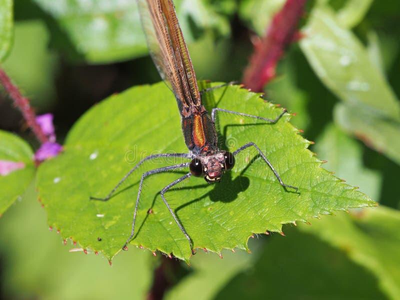 Damselfly demoiselle calopteryx piękny virgo obrazy royalty free
