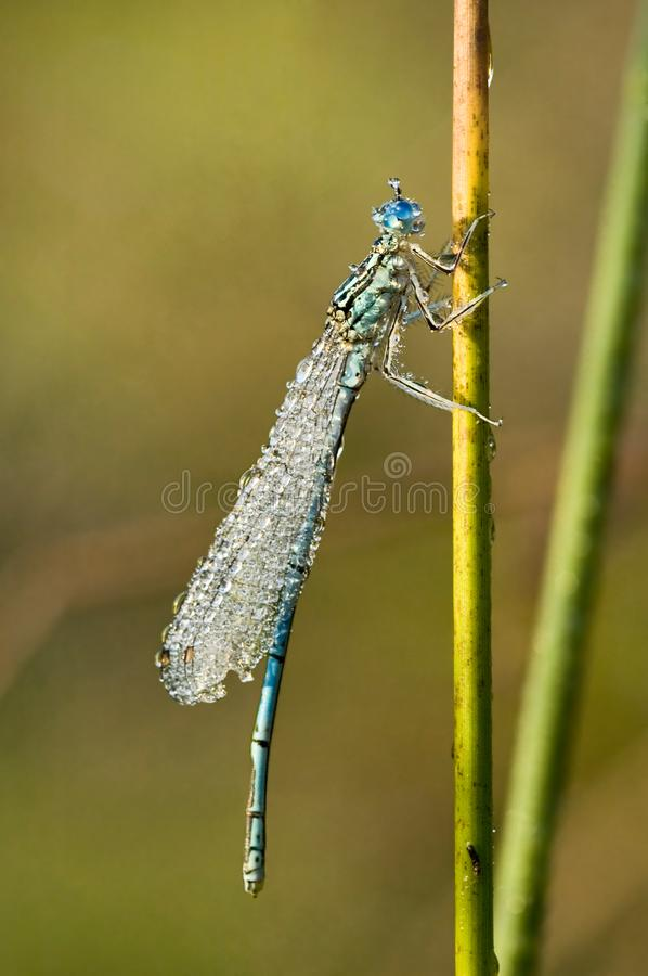 Damselfly in dew-drops royalty free stock photography