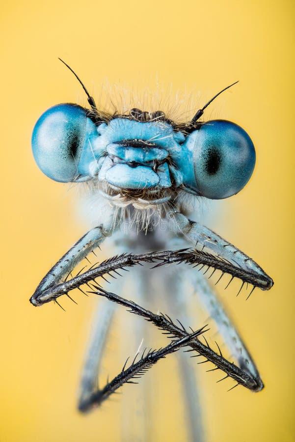 Damselfly dos azuis celestes, puella de Coenagrion fotografia de stock royalty free