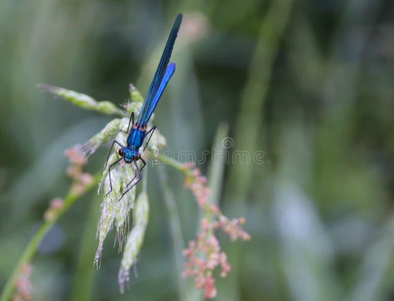 Damselfly dos splendens de Calopteryx fotografia de stock royalty free