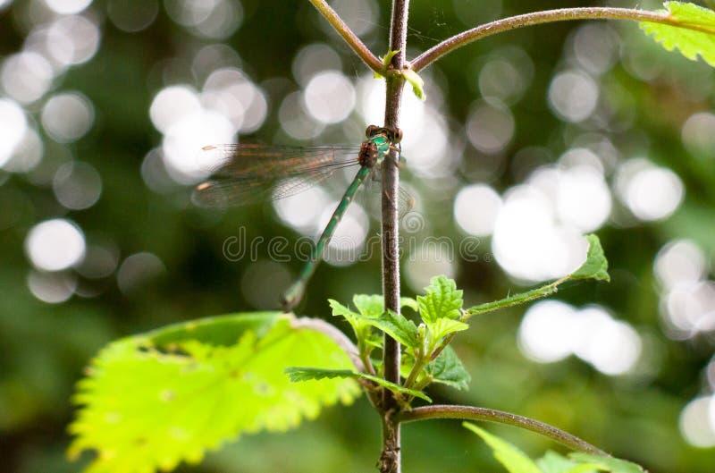 Damselfly esmeralda bonito que descansa em um ramo com as asas no mo fotografia de stock