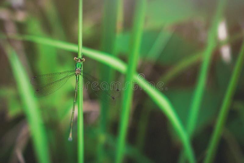 Damselfly on grass leaf. Lestes barbarus aka southern emerald damselfly on green grass leaf stock images