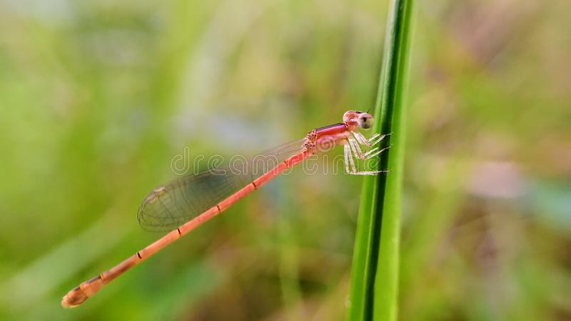 Damselfly on grass macro photography. close up. stock image