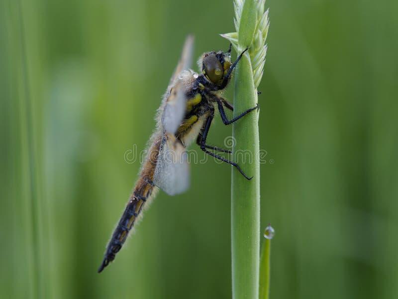 Damselfly on grass stalk. Damselfly sitting on a grass stalk royalty free stock images