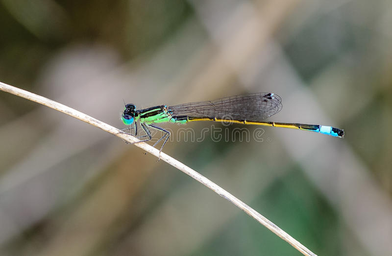 Damselfly I. Damselfly on a branch procreating an autumn afternoon stock image
