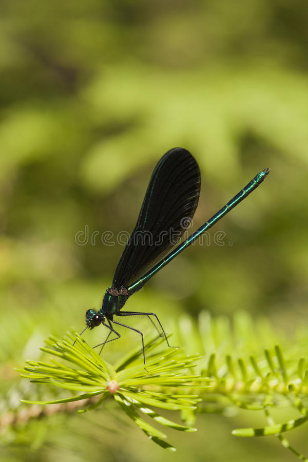 Damselfly jewelwing do ébano - maculata de Calopteryx fotografia de stock