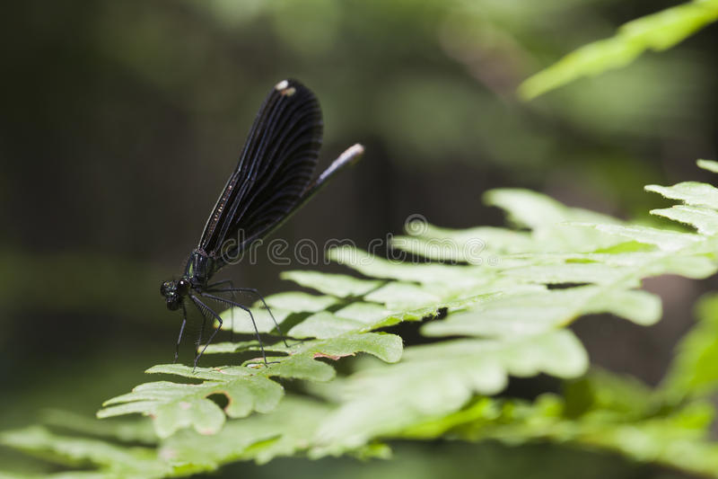 Damselfly jewelwing do ébano - maculata de Calopteryx imagem de stock royalty free