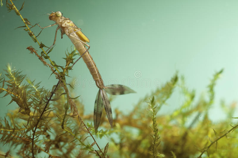 Damselfly larvae water insect dragonfly. Damselfly larvae close up background with copy space water insect underwater dragonfly pond life juvenile animal royalty free stock photography