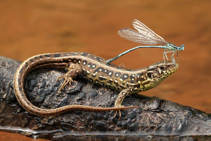 Damselfly on lizard stock photo