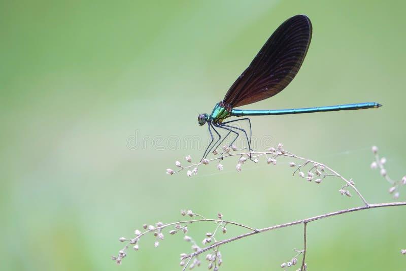 Damselfly. A male damselfly stands on branch. Scientific name: Matrona cyanoptera stock photos
