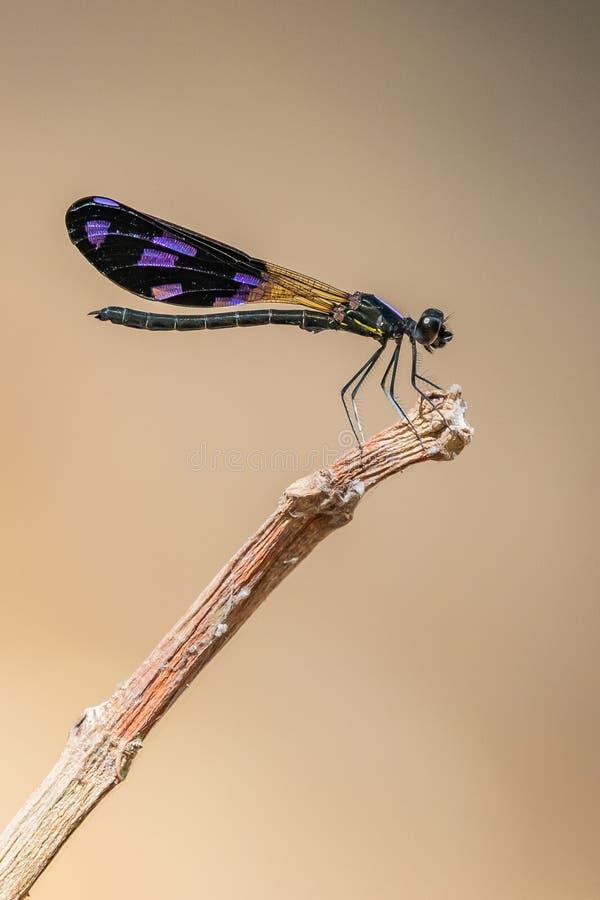 Damselfly masculino colorido da joia do pavão que empoleira-se em uma vara seca imagem de stock royalty free