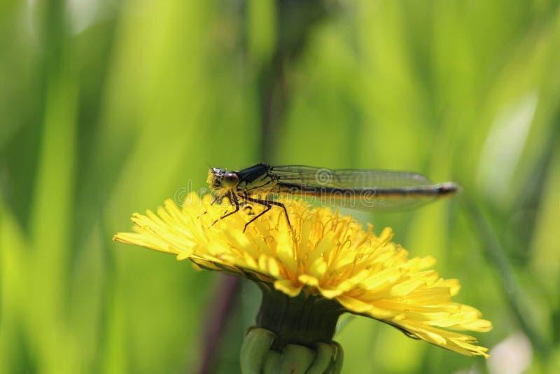 Damselfly med pollen royaltyfri foto