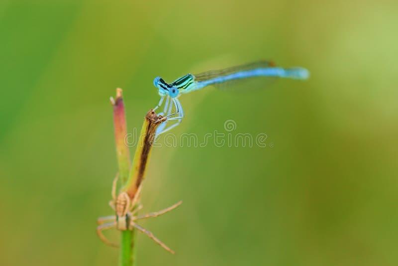 Damselfly med spindeln på gräsnärbild royaltyfria foton