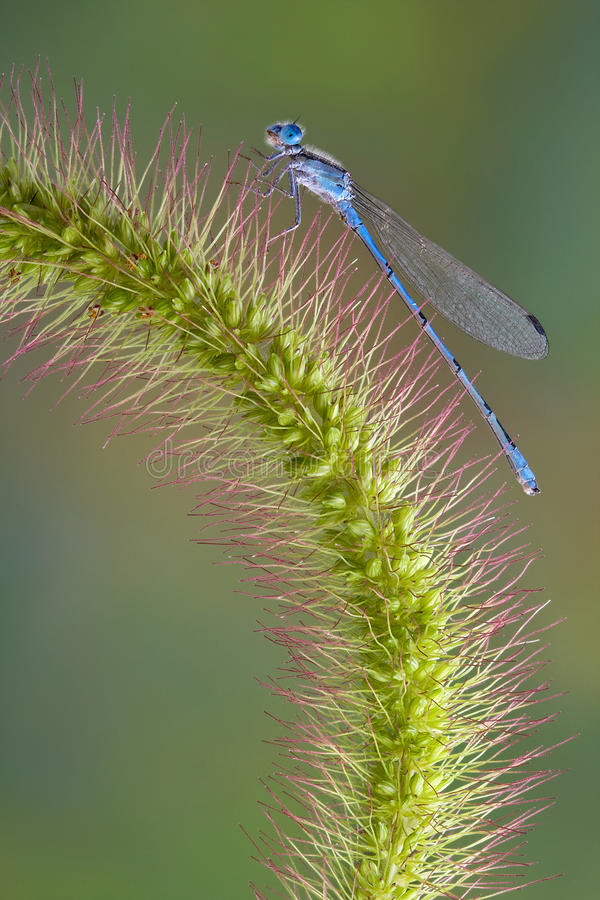 Free Damselfly On Foxtail Stock Images - 15463034