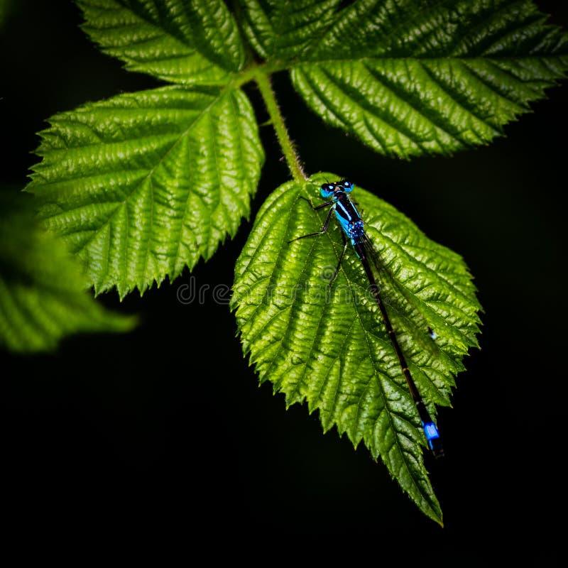 Damselfly på en leaf royaltyfria foton