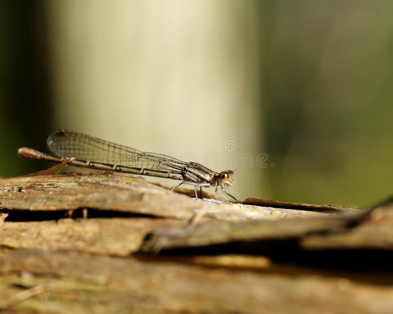 Damselfly på Wood chiper royaltyfri fotografi