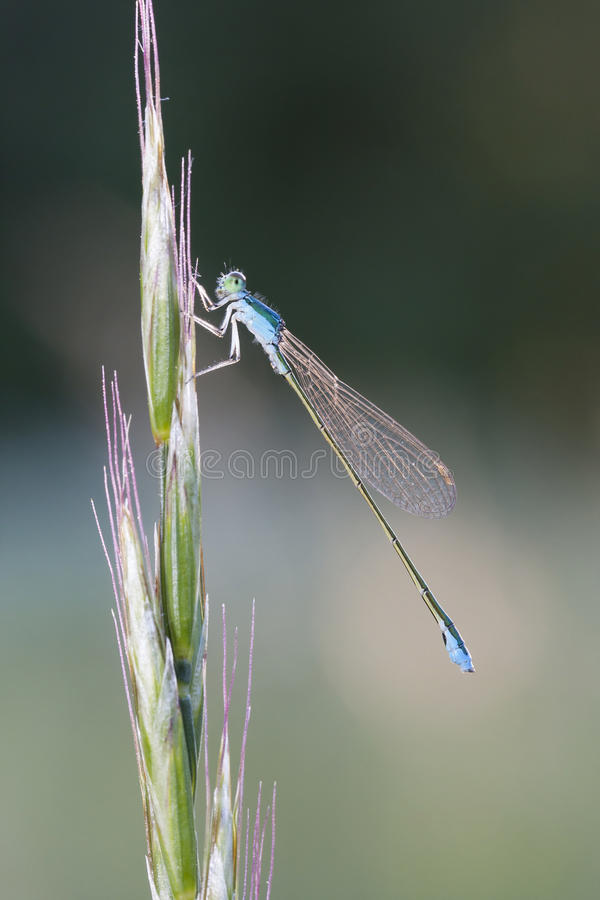 Damselfly on a plant straw stock photography