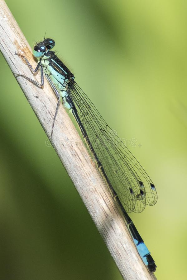 Download A damselfly on a reed stock photo. Image of reed, insect - 116468248