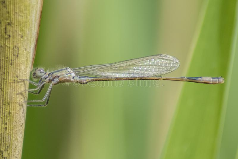 Download A damselfly on a reed stock image. Image of spring, summer - 116468955