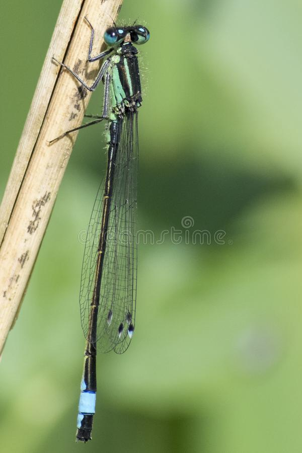 Download A damselfly on a reed stock photo. Image of blue, damselfly - 116468268