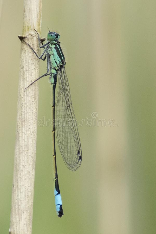 Download A damselfly on a reed stock photo. Image of wings, insect - 116468378