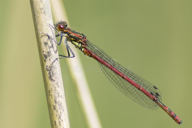 Download A damselfly on a reed stock image. Image of damselfly - 116468553