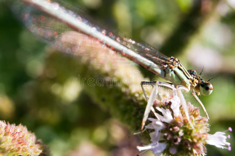 Damselfly Resting On Vegetation Stock Photos