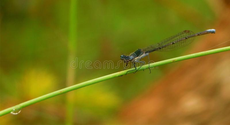 Damselfly se reposant sur une tige d'herbe photo stock