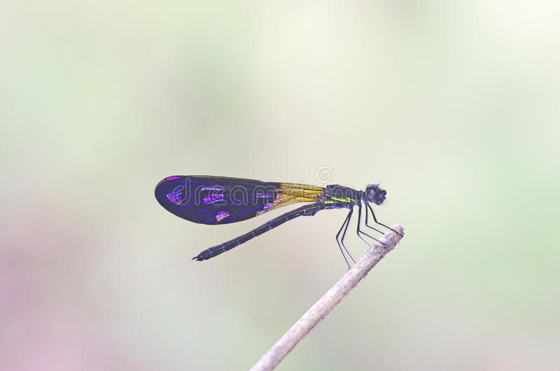 Damselfly on tree banch. Damselfly is resting on the pole stock photo