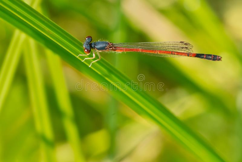 Damselfly vermelho oriental da donzela - saucium de Amphiagrion fotografia de stock royalty free