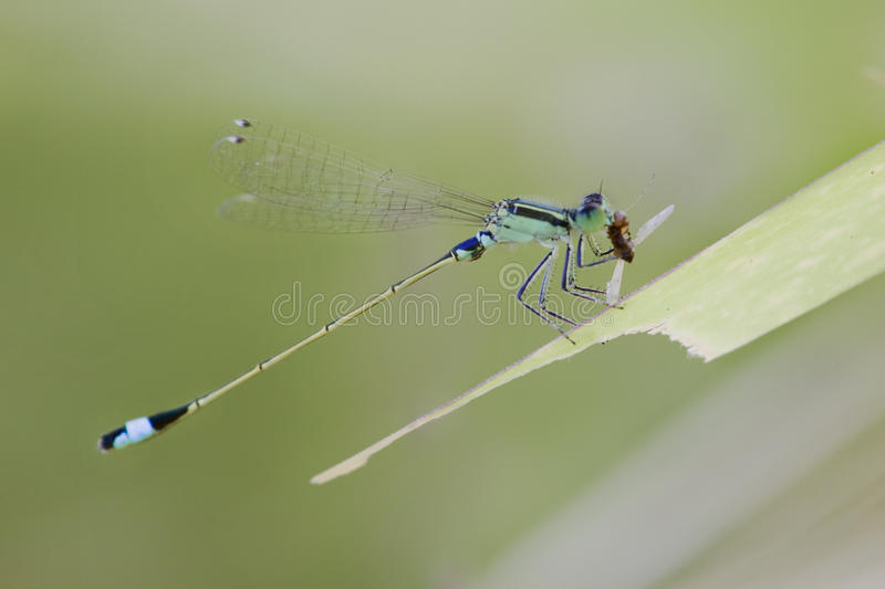 Damselfly were eating royalty free stock images