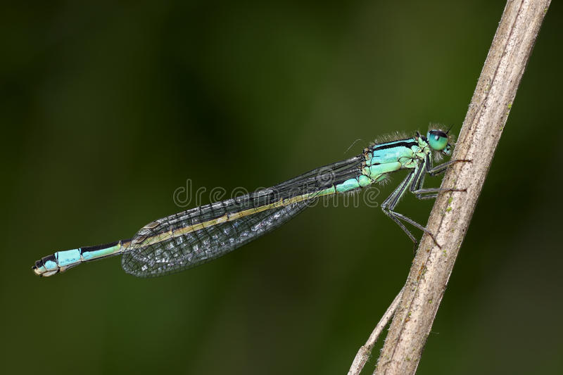 Damselfly (zygoptera) stock photography