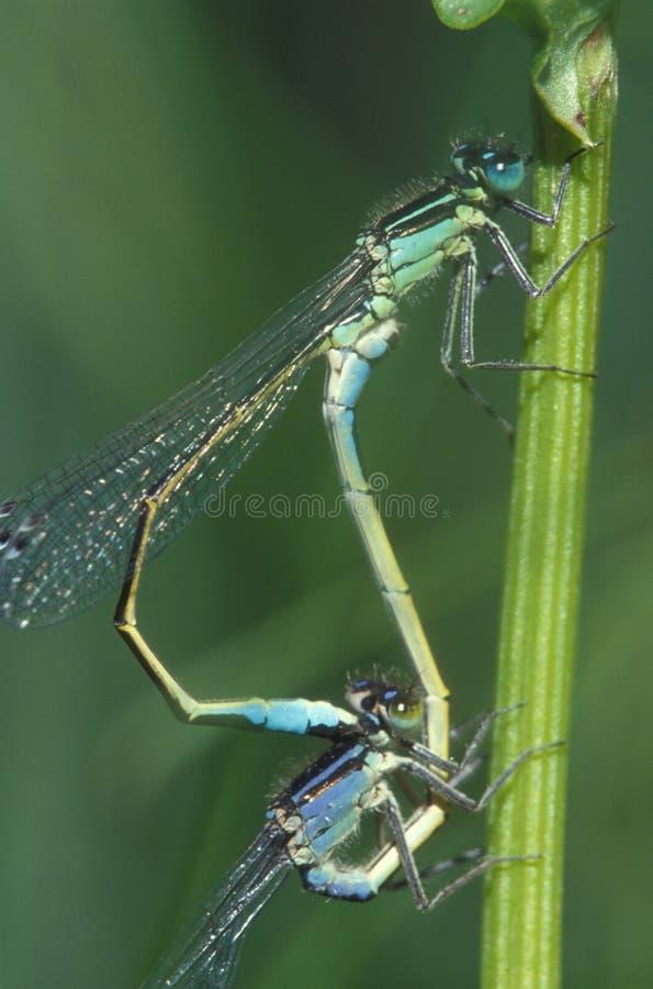 Damselflys mating. Damselfly mating wheel royalty free stock images