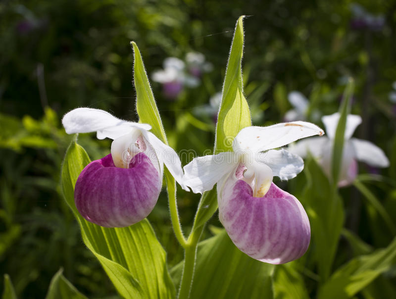 Damy pantoflowa orchidea fotografia royalty free