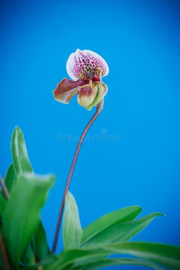 Damy pantoflowa orchidea obrazy stock