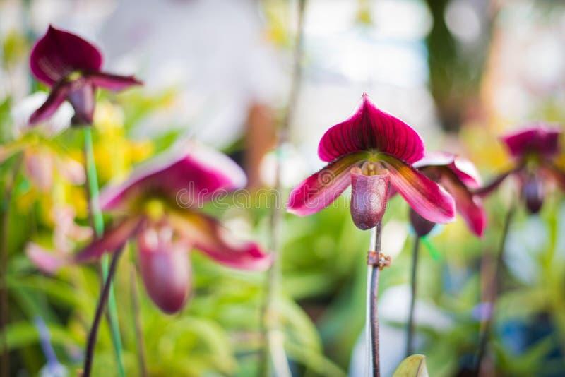 Damy ` s Pantoflowej orchidei kwiatu Paphiopedilum purpurowy colour wewnątrz fotografia royalty free