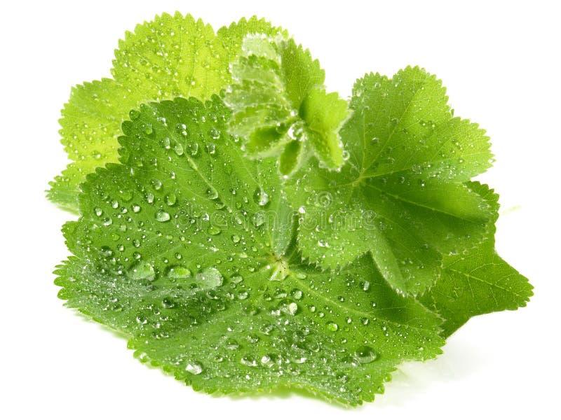 Damy salopy liście - Zdrowy odżywianie obrazy stock