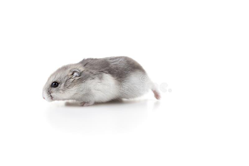 Dança bonito do hamster imagens de stock royalty free