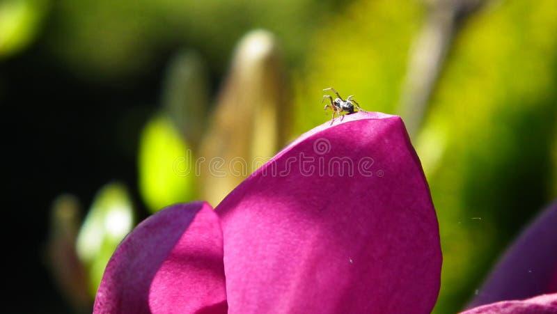 Dança da aranha em uma pétala cor-de-rosa 2 da flor fotos de stock