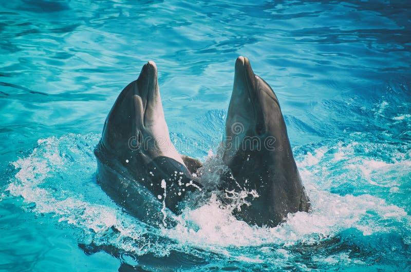 Dança de dois golfinhos foto de stock royalty free