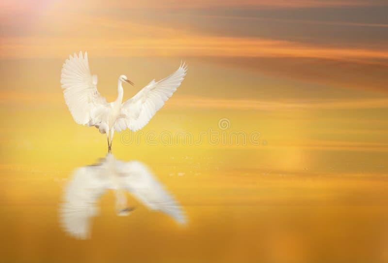 Dança do Egret pequeno no nascer do sol imagens de stock royalty free