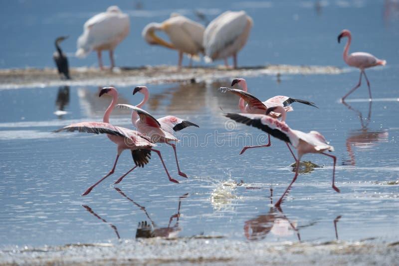 Dança do flamingo no lago imagem de stock royalty free